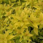 Gold Mound Spirea - Spiraea japonica 'Goldmound' - Yellow Leaves