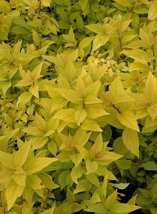 Gold Mound Spirea - Spiraea japonica 'Goldmound' - Yellow Leaves