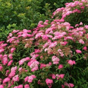 Spiraea japonica 'Little Princess' blooms