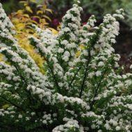 Spiraea nipponica 'Snowmound'