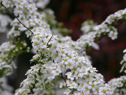 Bridal Wreath Spirea - Spiraea x arguta flowers