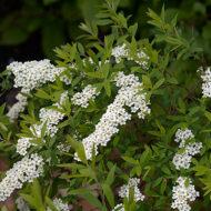 Elegant habit of Spiraea x arguta - Garland Spirea