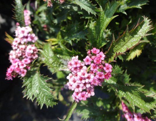 Crisp Leaf Spirea - Spiraea x bumalda 'Crispa'
