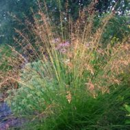 Prairie dropseed in bloom - Sporobolus heterolepis