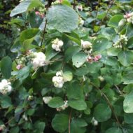 Symphoricarpos albus, Common Snowberry