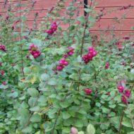 Pink Snowberry - Symphoricarpos x doorenbosii 'Marleen'