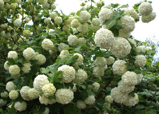 Snowball Bush - Viburnum opulus 'Roseum'