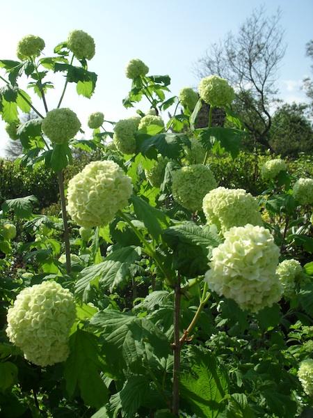 Viburnum Opulus Roseum Snowball Bloom