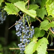 Vitis riparia fruit - Riverbank Grape