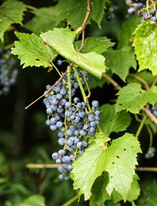 Vitis riparia fruit - Riverbank Grape
