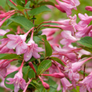 Weigela florida 'Pink Princess' flower