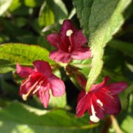 Red Weigela - Weigela florida 'Red Prince'
