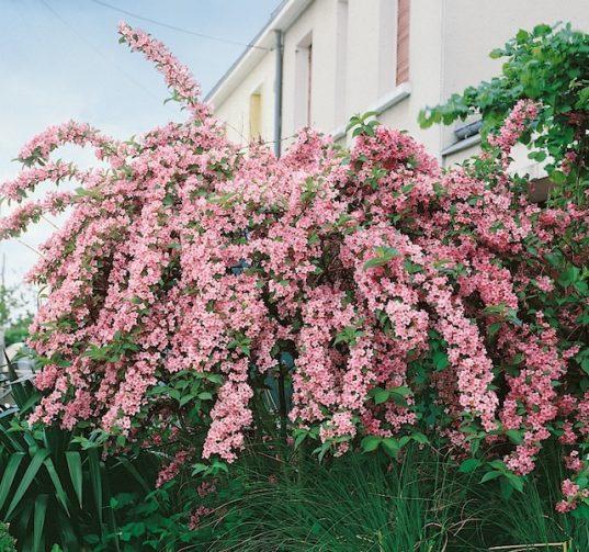 Pink Weigela - Weigela florida 'Rosea'