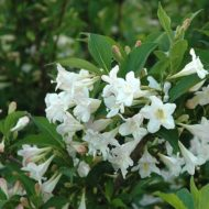 White Knight Weigela - Weigela florida 'White Knight'