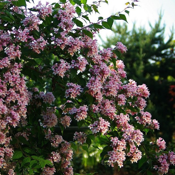 Kolkwitzia amabilis pink cloud bambooplants kolkwitzia amabilis pink cloud beautybush pink cloud mightylinksfo