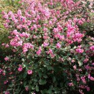 marleen snowberry 190x190 - Symphoricarpos x doorenbosii 'Ariso' MARLEEN