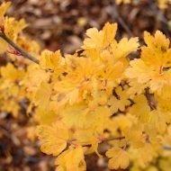 ribes alpinum fall 190x190 - Ribes alpinum