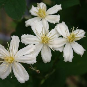 Clematis fargesioides 'Summer Snow'