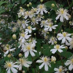 Clematis fargesioides 'Summer Snow' in full bloom