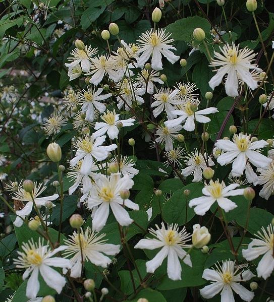 White clematis clematis paul farges summer snow canada clematis paul farges summer snow clematis fargesioides summer snow in full mightylinksfo