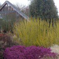Cornus flaviramea, Golden Twig Dogwood
