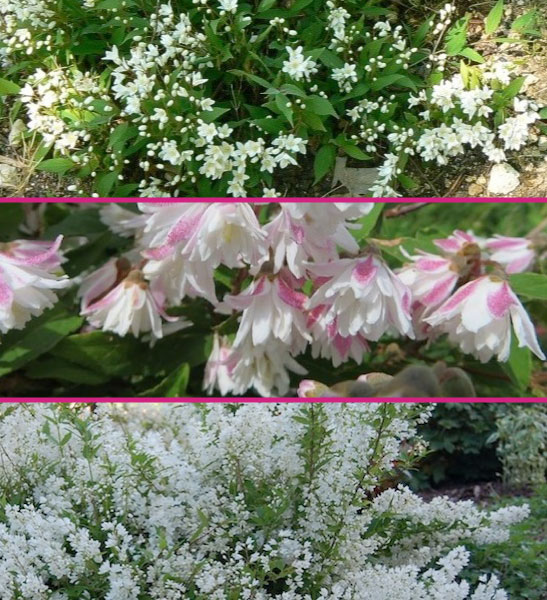 Deutzia for sale Toronto