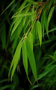 Fargesia_dracocephala_'Rufa' for sale, choosing bamboo