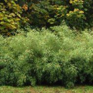 Fargesia dracocephala 'Rufa' bush