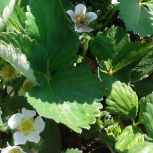 Fragaria 'Jewel' plant in bloom