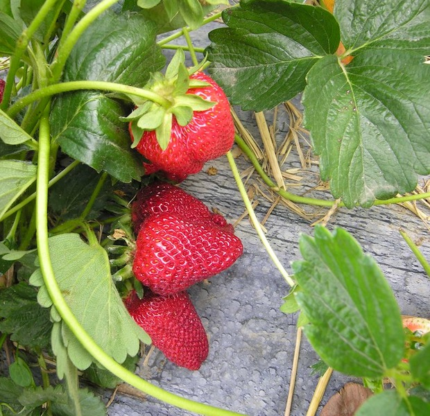 Everbearing Strawberries - Albion Strawberry - Fragaria 'Albion'