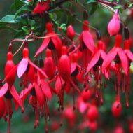 Chilean Hardy Fuchsia - Fuchsia magellanica 'Riccartonii'