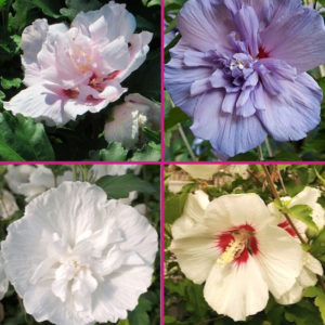 Hibiscus plants for sale