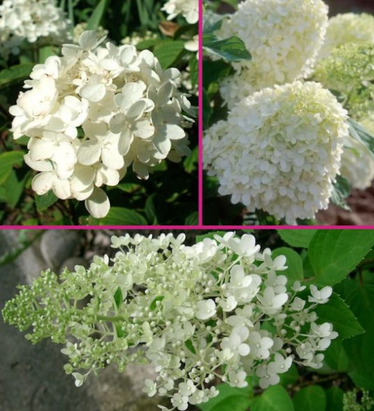 Hydrangea plants for sale
