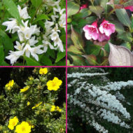 dwarf shrubs for sale