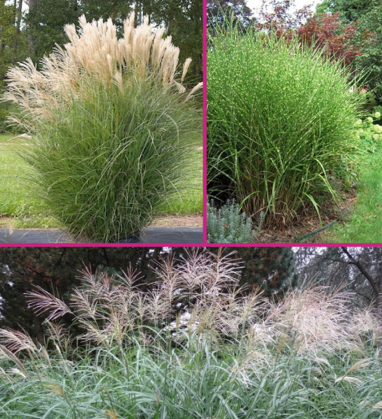 Miscanthus gasses for sale Canada