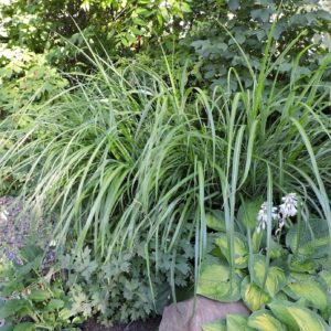 Miscanthus sinensis 'Silberfeder' grass for sale, shop Miscanthus Canada, buy Miscanthus Toronto