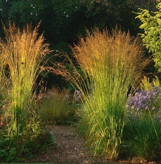 Molinia arundinacea 39 skyracer 39 for Very tall ornamental grasses