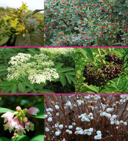 winter interest shrubs for sale