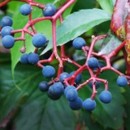 Parthenocissus quinquefolia fruits 2
