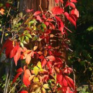 Virginia Creeper - Parthenocissus quinquefolia habit