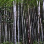 Moso Bamboo for sale - Phyllostachys edulis