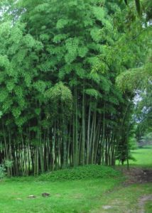 Phyllostachys edulis for sale, choosing bamboo, cold hardy bamboo