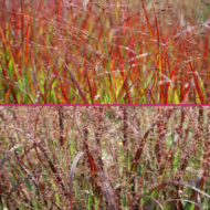 red ornamental grasses for sale