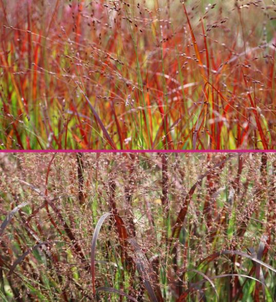 red ornamental grasses for sale
