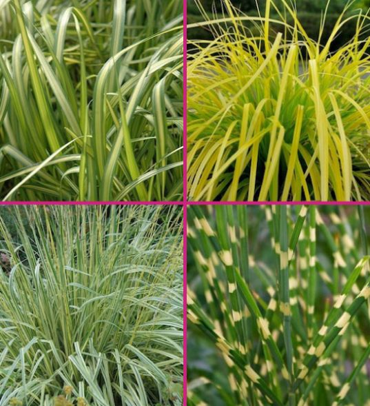 Yellow grasses for sale
