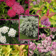 Trending Spiraea shrubs for sale