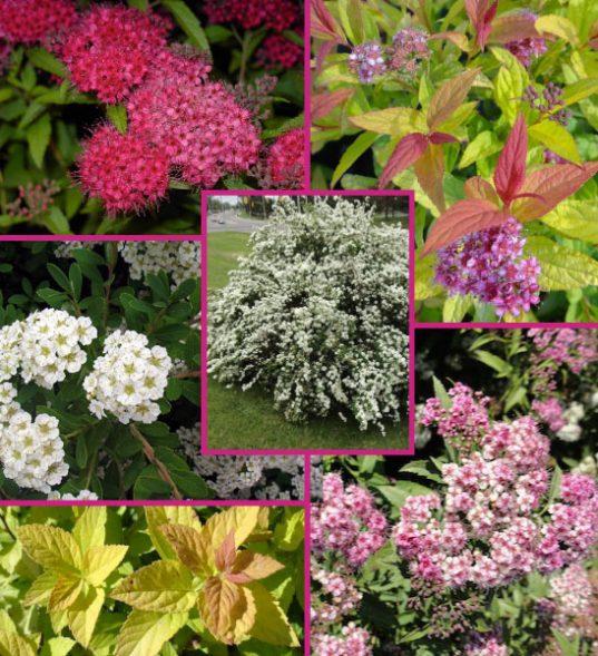 Trending Spiraea shrubs for sale