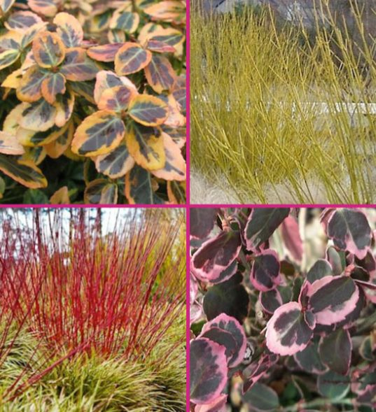 red dogwood for sale