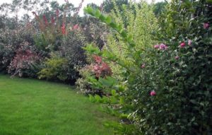 ornamental shrub hedges