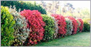 ornamental hedge shrubs